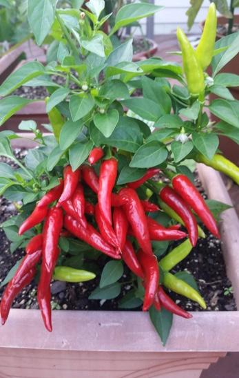 Wayne Pepper Garden