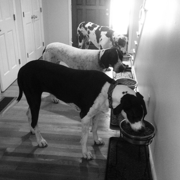 How to Feed 3 Great Danes